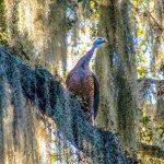 Florida Turkey - Meleagris gallopavo osceola