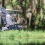 Heron over Cross Creek