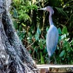 Little Blue Heron on Cross Creek