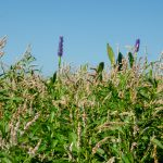 Smart Weed and Pickerel Weed