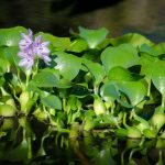 Water Hyacinth - Eichhornia crassipes