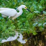 White Egret on Cross Creek