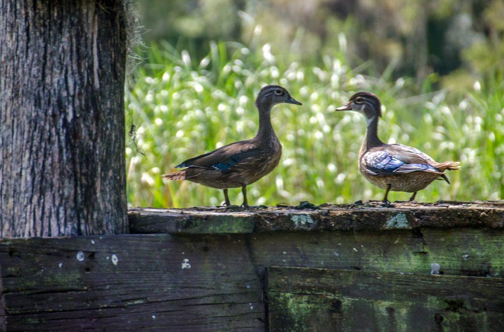 Young Wood Ducks - Aix sponsa
