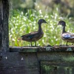Young Wood Ducks - Aix sponsa