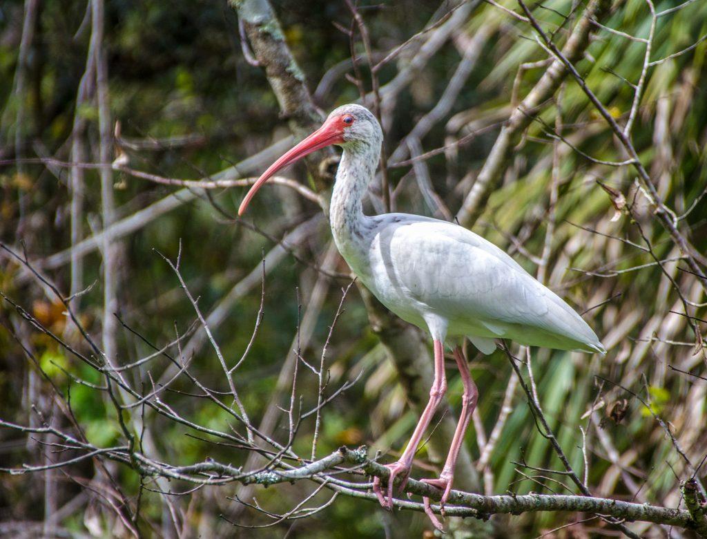 American White Ibis - Eudocimus albus