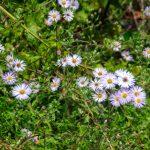 Climbing Aster - Symphyotrichum carolinianum