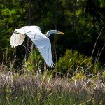 Egret flies the Smokehouse Prairie