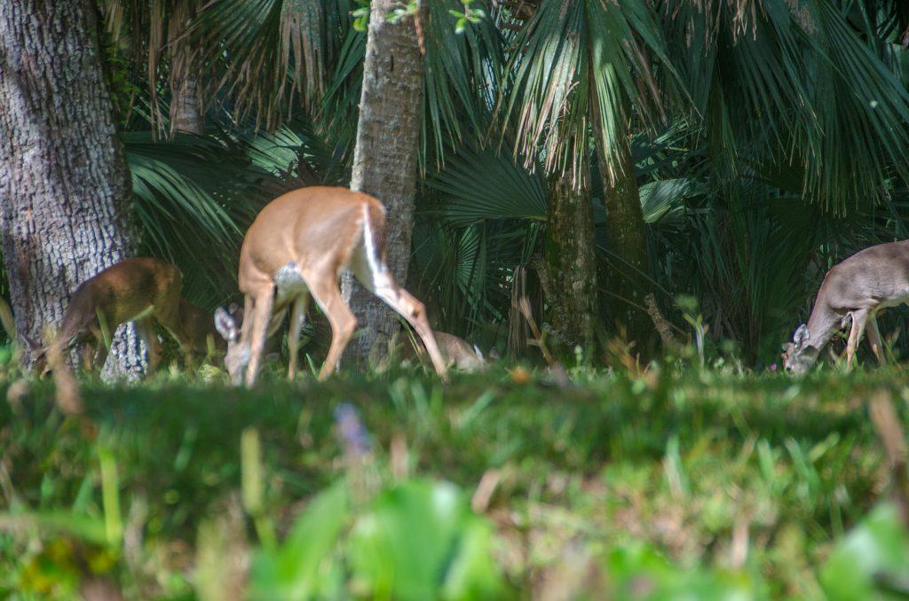 Deer Along Rock Springs Run