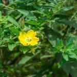 Primrose Willow - Ludwigia peruviana