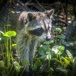 Raccoon on the Weeki Wachee River