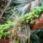 Ressurection Fern - Tillandsia