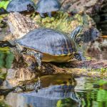 River Cooter - Pseudemys concinna