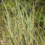 Sawgrass - Cladium jamaicense