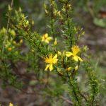 Scrub St. John's Wort - Hypericum tenuifolium