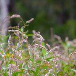 Smartweed - Polygonum punctatum