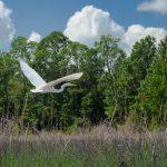 Smokehouse Prairie Egret