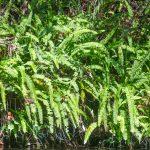 Sword Fern - Nephrolepis exaltata