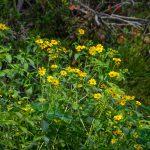 Tickseed Sunflower - Bidens aristosa
