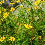 Tickseed Sunflower - Bidens polylepis