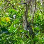 Undercover Heron