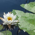 Fragrant Water Lily - Nymphaea odorata