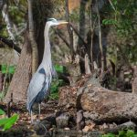Bearded Blue Heron - Ardea herodias