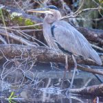 Blue Heron - Salt Springs