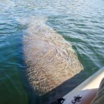 Large Manatee Nudges Kayak