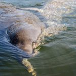 Manatee Swims over to say hello