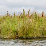 Needle Rush - Juncus roemerianus