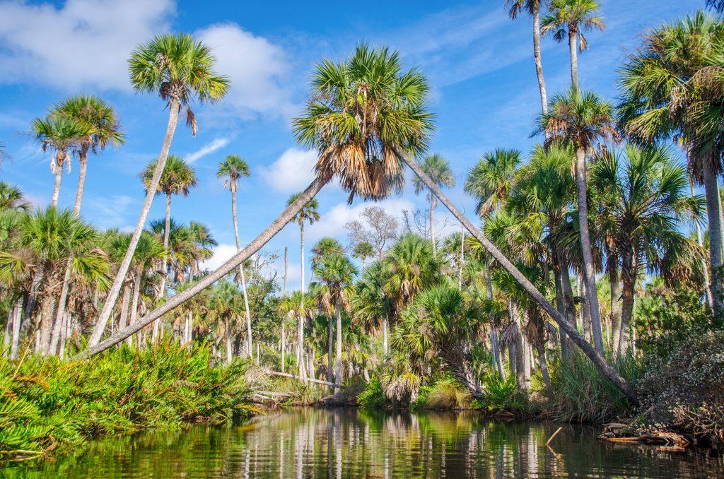 Palm Arch - Bulow Creek