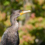 Salt Springs - Cormorant