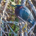 Salt Springs - Green Heron