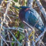 Salt Springs - Green Heron