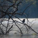 Salt Springs - Green Heron - Silhouette