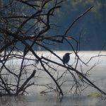 Salt Springs - Green Heron - Silhouette