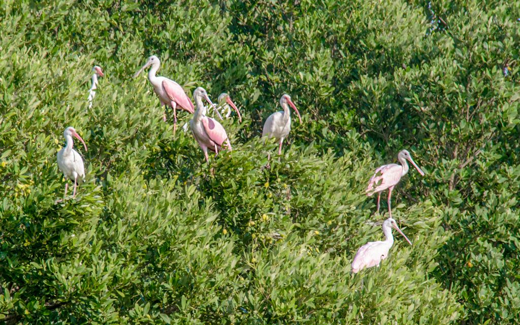Spoonbill & Ibis - Scale Key