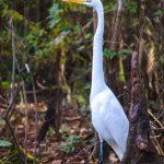 White Egret - Ardea alba