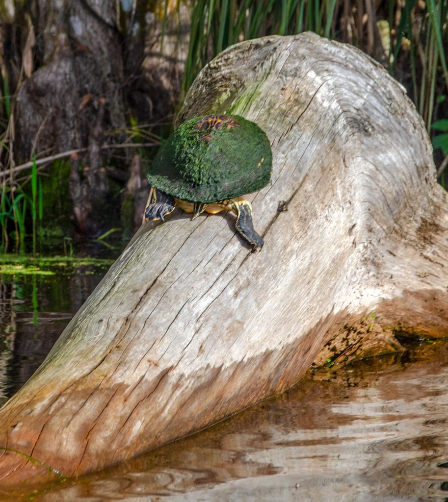 Algae covered River Cooter