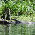 Baby Gator on Prairie Creek