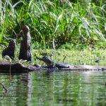 Baby Gator on Prairie Creek