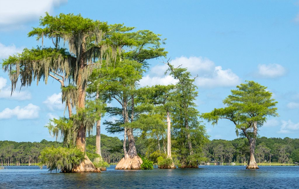 Cypress Trees on Santa Fe Lake
