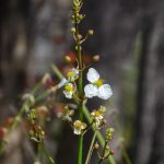 Duck Potato - Sagittaria lancifolia
