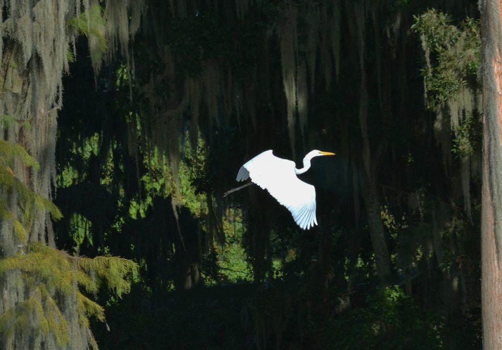 Egret-Santa Fe Lake