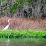 Great Egret on Black Lake