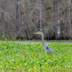 Heron on Tussock