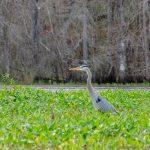 Heron on Tussock