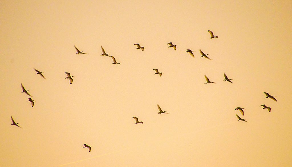 Ibis Heading to Roost