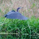 Little Blue Heron Takes Flight on Black Lake