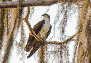 Osprey - Santa Fe Lake
